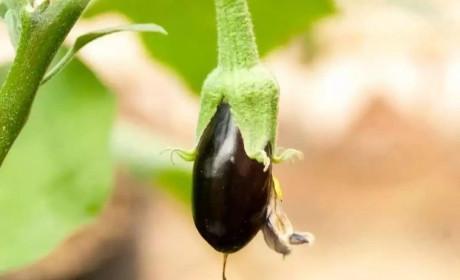 经常吃茄子大家说能壮阳,历史告诉真与假
